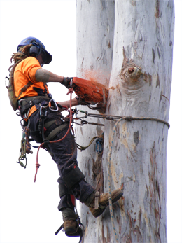 Mathew Smith dismantling a gum tree