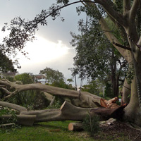 A storm damaged fig tree in Newport